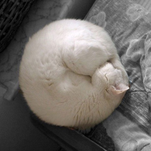 sleeping-cat-curled